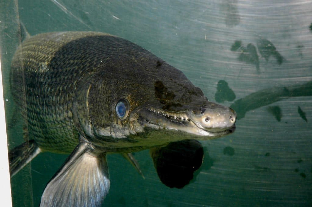 TPWD proposes new regulations to protect Alligator Gar from overharvesting